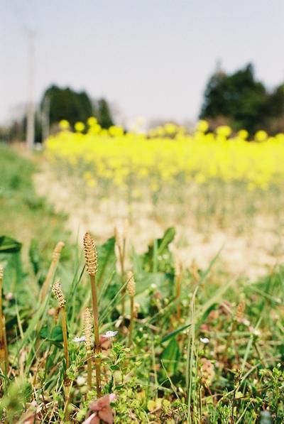 090523_菜の花2.jpg