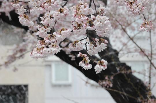 100417_桜3.jpg
