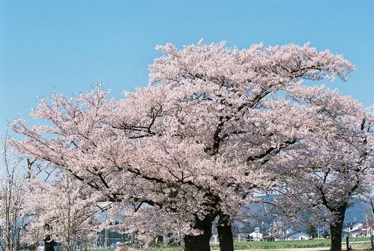 100502_桜1.jpg