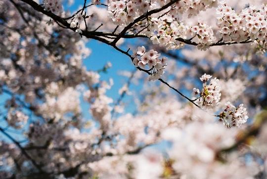 100502_桜3.jpg