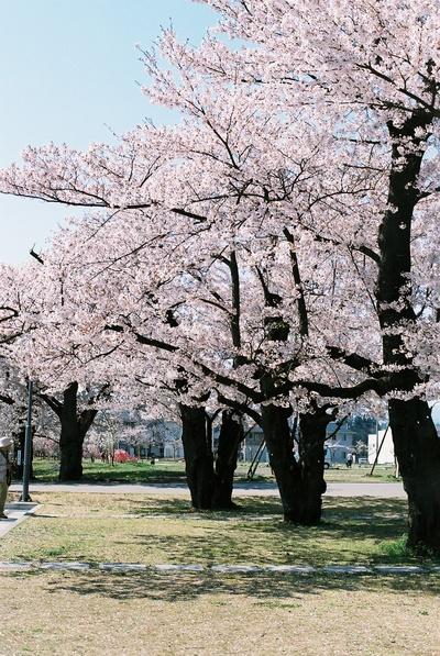 100502_桜4.jpg