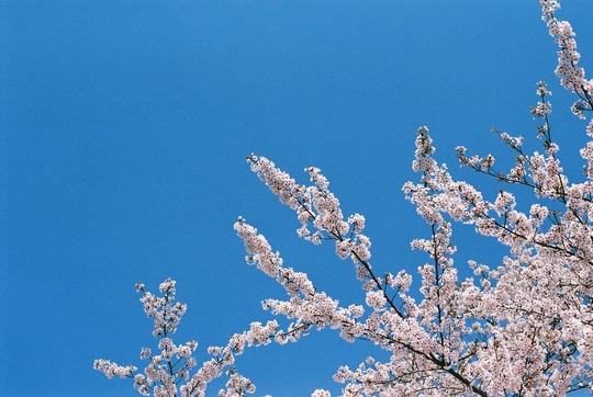 100502_桜5.jpg
