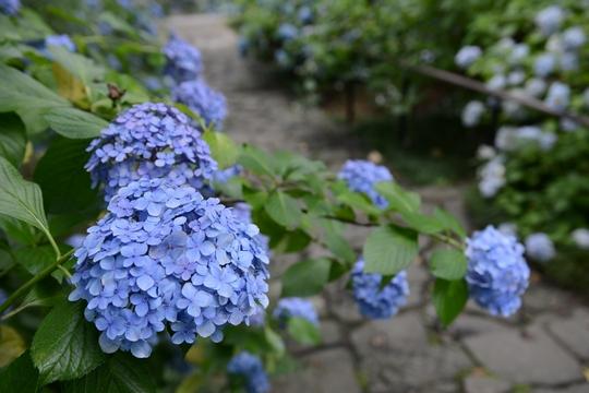 140721_紫陽花3_D6W_1926.jpg