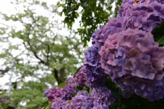 140721_紫陽花4_D6W_1927.jpg