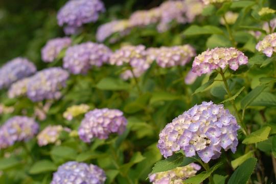 090628_紫陽花1.jpg