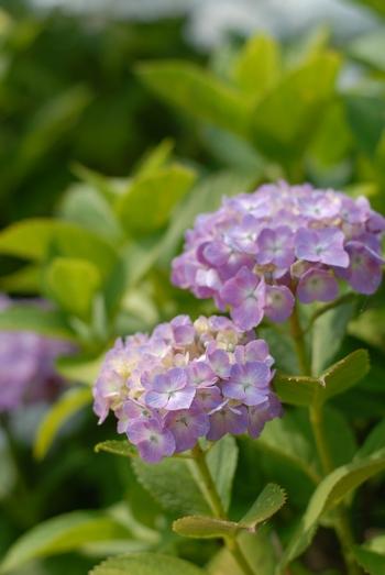 090628_紫陽花2.jpg