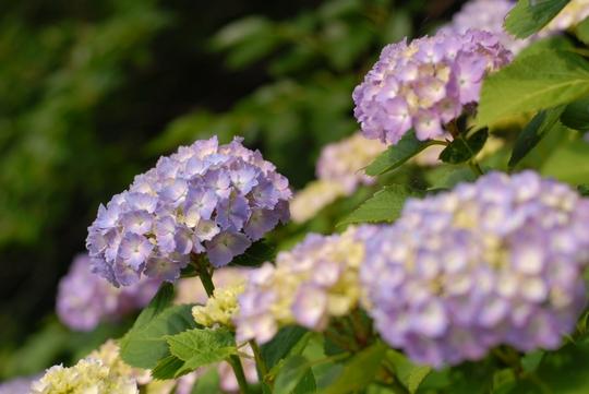 090628_紫陽花3.jpg