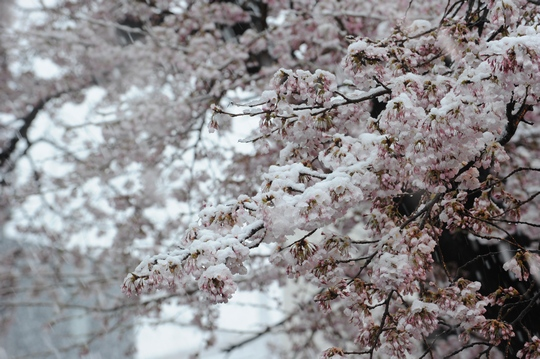 100417_桜2.jpg