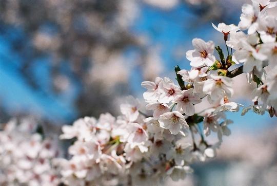 100502_桜2.jpg