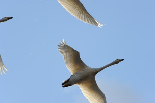 101212_白鳥4.jpg